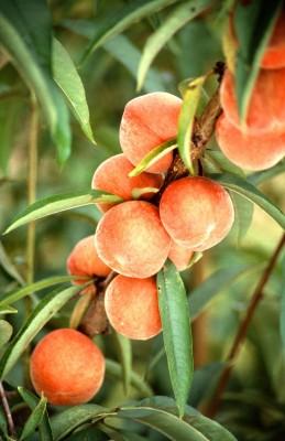 owoce, liście