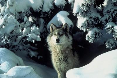 Husky, śnieg