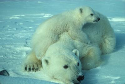 niedźwiedzie, śnieg