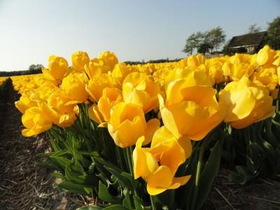 żółte tulipany ,pole
