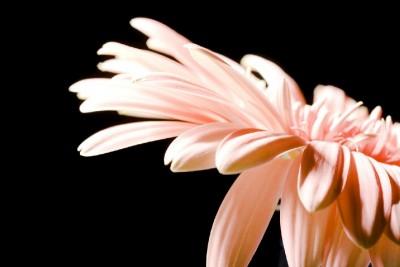 kwiatek, gerber