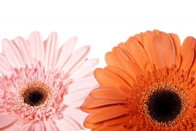 gerbery, kwiaty