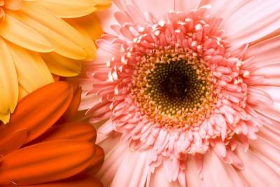 gerber , kwiaty