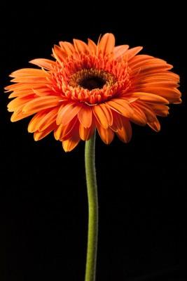 pomarańczowy gerber