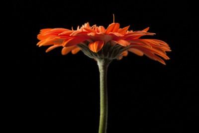 gerbera, kwiat, czarne tło