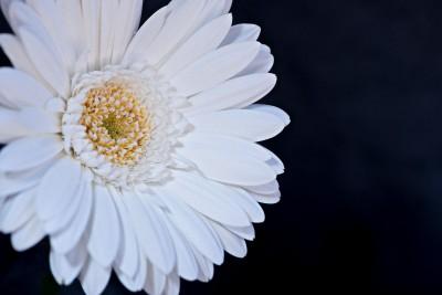 biały kwiatek, czarne tło