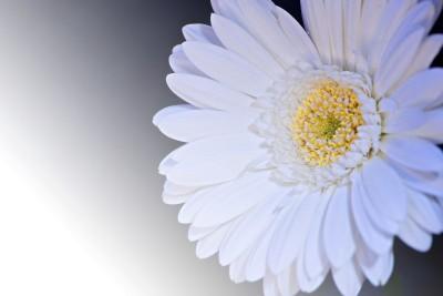 biały kwiatek 03