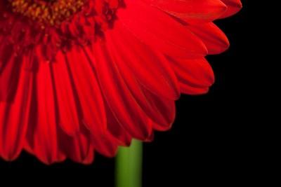 czerwony kwiatek , gerber