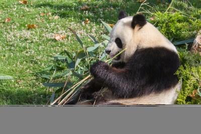 zwierze, panda
