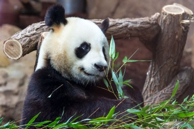 panda, zoo