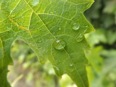 liść, krople wody
