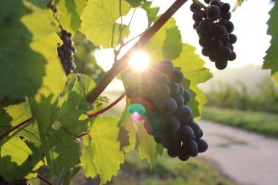 winogron, słońce