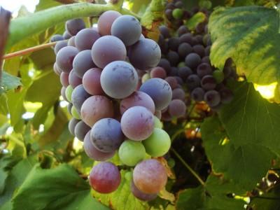 winogron, fioletowy