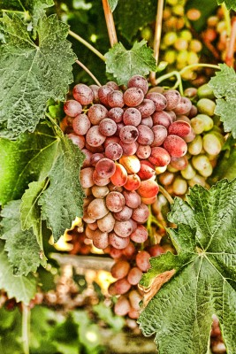 winogron, owoce