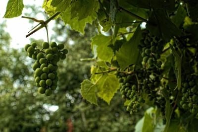 winogron zielony