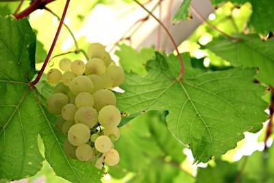 winogron, liście
