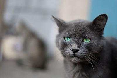 szary kotek, niebieskie oczy