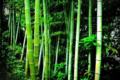 bambus, drzewo
