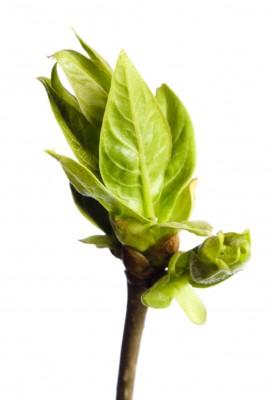 liście, pączki