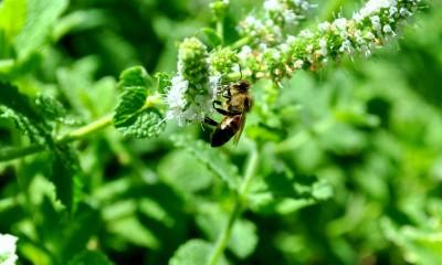 pszczoła na liściu