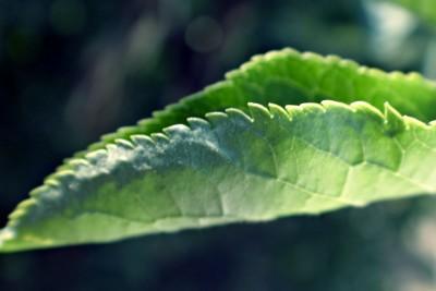 zwinięty liść